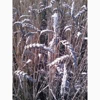 Канадские семена пшеници Тазос, Тэсла, Омаха -1реп.(двуручки)