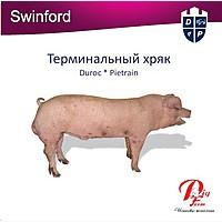 Cвинки на откорм. Ремонтные свинки. Испанская технология