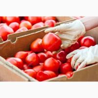 Продадим томаты оптом до 20 тонн