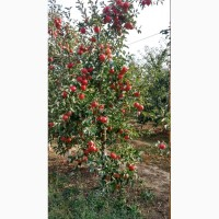 Продам яблуко різних сортів, урожай 2018р. Калібр 7