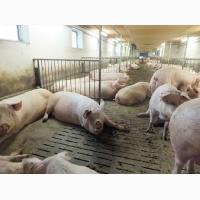 Куплю свиней от 100 голов. Все регионы