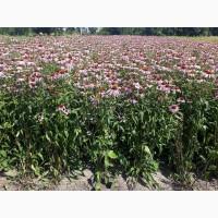 Продам насіння ехінацеї пурпурової
