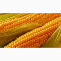 Насіння кукурудзи Солонянський 298св
