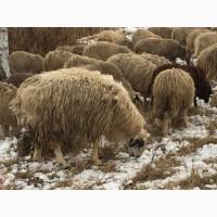 Гиссарский курдючный баран производитель 100+ кг