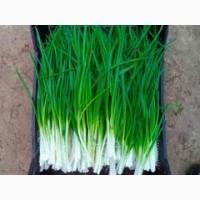 Куплю лук зеленый перо