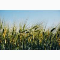 Семена озимой пшеници Колония 1-реп. (Лимогрейн)