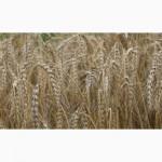 Продам пшеничное тритикале 65 тонн, сорт Амос 1 репродукция