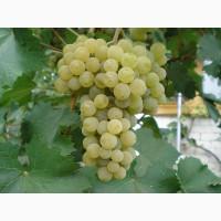 Продам виноград технических (винных) сортов