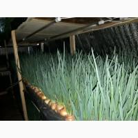 Продам зеленый лук (перо), 50 грн