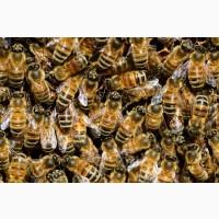 Продам бджолопакети, Сумська обл