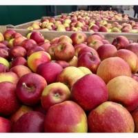 Продам яблука від виробника