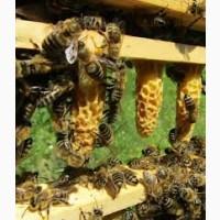 Пчеломатки Карника, пчелопакеты