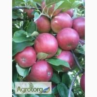 Терміново продам яблука