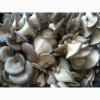 Продам свежие грибы вешенка от производителя