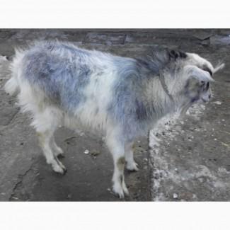 Продам альпийского козлика