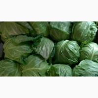 Продам молодую капусту от 5 тонн