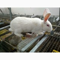 Продаємо м#039;ясо кроля