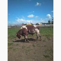Продам бика