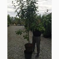 Продам оптом и в розницу саженцы плодовых деревьев в ЗКС от 3 лет