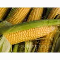 Семена кукурузы Солонянский 298 СВ ФАО 280