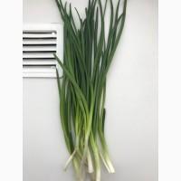 Продаем зеленый лук на постоянной основе