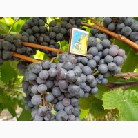 Продам виноград Буффало
