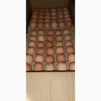 Яйцо Бройлера кобб500 оптом и в розницу