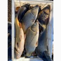 Карп живой! Живая рыба оптом! ОПТОВАЯ ПРОДАЖА КАРПА С ПРУДА