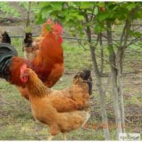 Продам цыплят подрощенных Кучинской юбилейной породы кур