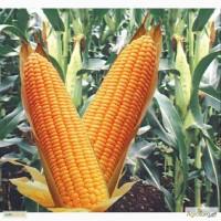 Семена кукурузы гибрида Кадр 267 МВ (F1) от производителя. (ФАО 260)