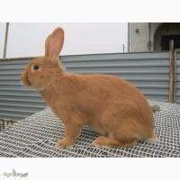 Кролики бургунці, доставка по Україні