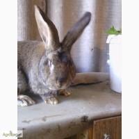 Продам кроликов Фландр