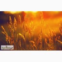Закупаем оптом зерновые культуры (Пшеница 2-6 класс)