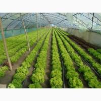 Продам салаты листовые зелёный Левистро и красный Кармези