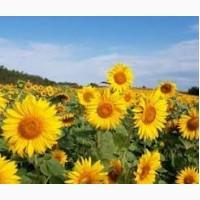 Продамо посівний матеріал гібриду соняшнику Українське сонечко (90-95 дн)