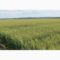 Семена озимой пшеницы Золотоколосая-элита