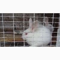 Порода кролів Термонська біла