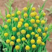Продам семена Земляничная трава (Цефалофора)