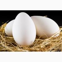 Продаємо інкубаційні яйця гусей породи Велика сіра