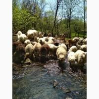 Продаються вівці з ягнятами та кози з козенятами
