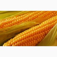 Закупка кукурузы. Крупный опт
