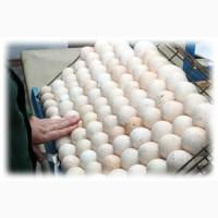 Инкубационное яйце бройлера