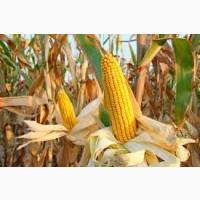 Насіння кукурудзи сорту ар 18101 к (патриція) фао-300