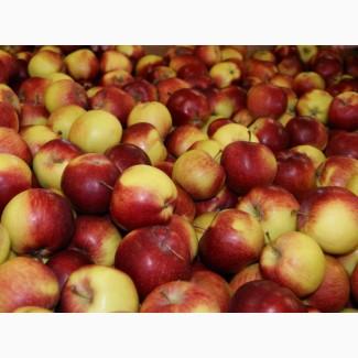 Закупаем яблоко твердых сортов на заморозку
