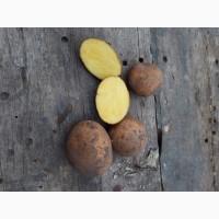 Продам посадочную картошку Сорт конект Картофель