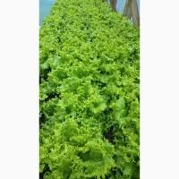 Продам салат листовой афицион. Киев
