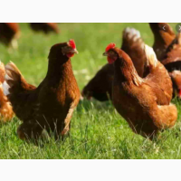 Курячі інкубаційні яйця Ломан Браун