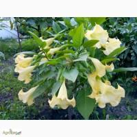 Бругмансия (белая, розовая, два вида желтой)+ махровые сорта