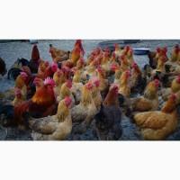 Яйца инкубационные и цыплята Кучинская юбилейная