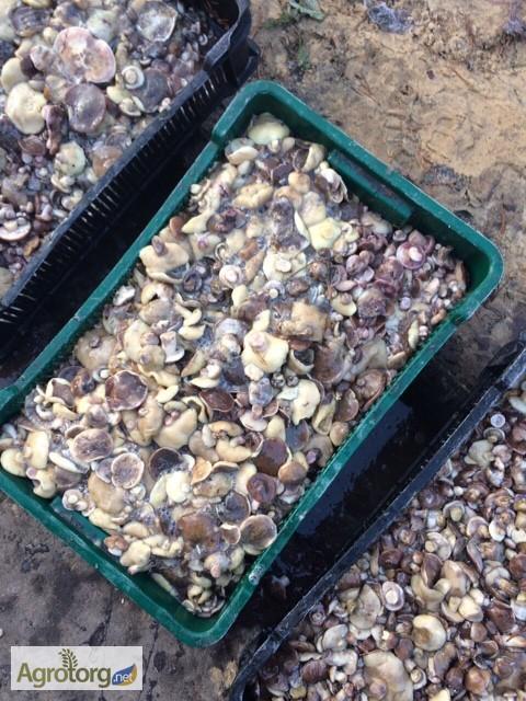 Фото 3. Продам лесной гриб. Маслята. 1- сорт